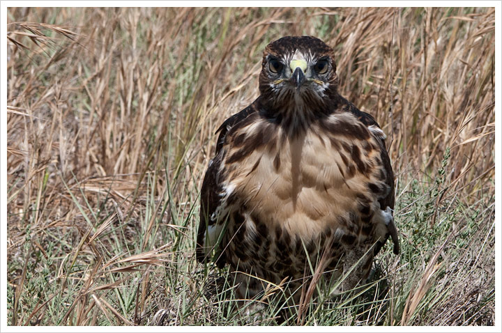 San Luis National Wildlife Refuge - fledgling hawk